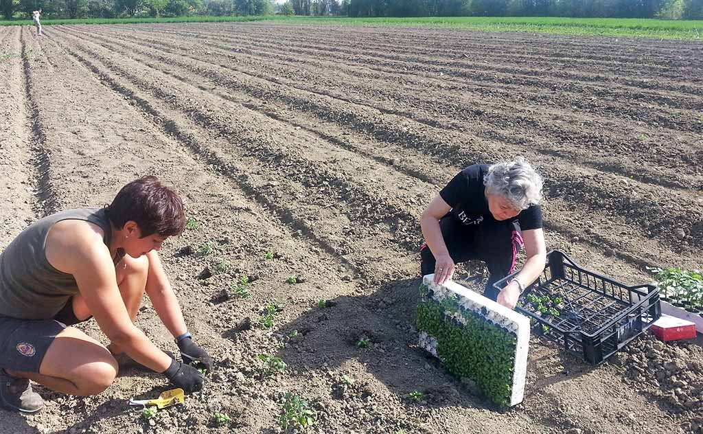 Il trapianto delle piantine nell'orto