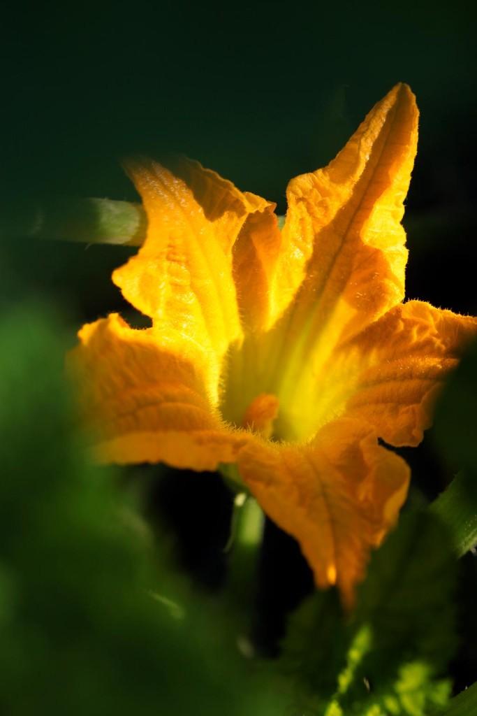 Fiore di zucca - Erbucchio
