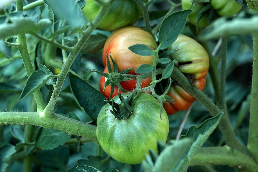 Pomodori nell'orto di Erbucchio