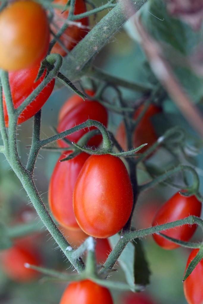 Pomodori datterini - Erbucchio