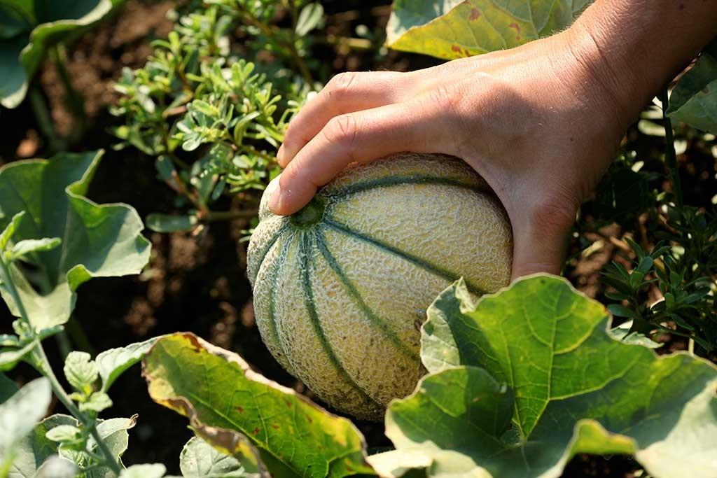 Raccolta dei meloni nell'orto di Erbucchio