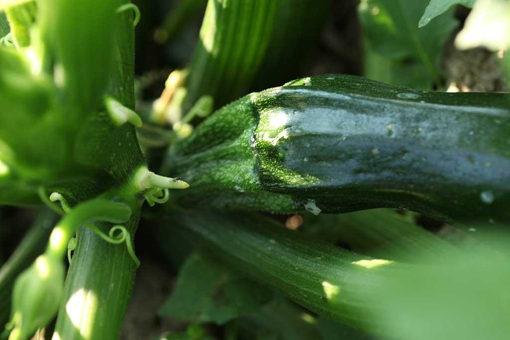 Zucchine biologiche - Erbucchio