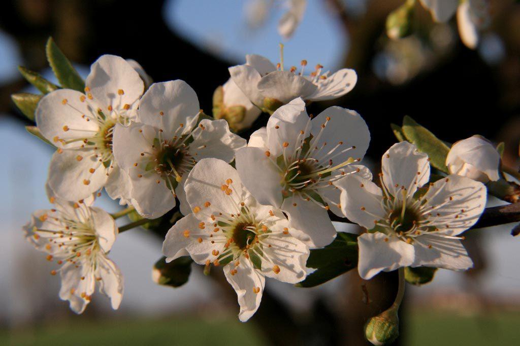Pianta da frutto in fiore